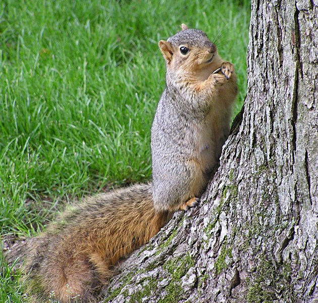 Fox squirrel (Sciurus niger); adult with sunflower seed. Notre Dame Campus, South Bend, Indiana, USA. May 2004.