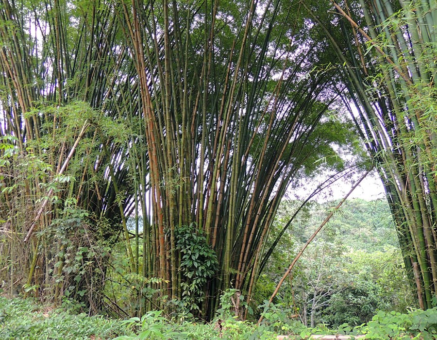 Bambusa vulgaris (common bamboo); habit. Area within the Caribbean National Forest (El Yunque, Puerto Rico) invaded by B. vulgaris.