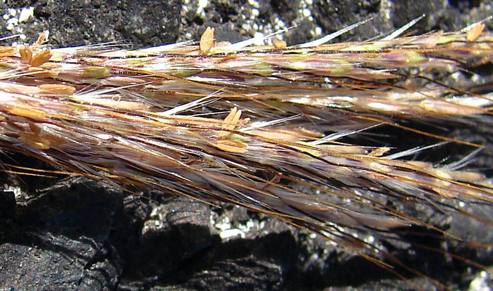 Bothriochloa pertusa (Pitted beardgrass); close-up of seedheads. South Beach Sand Island, Midway Atoll, Hawaii, USA. June, 2008