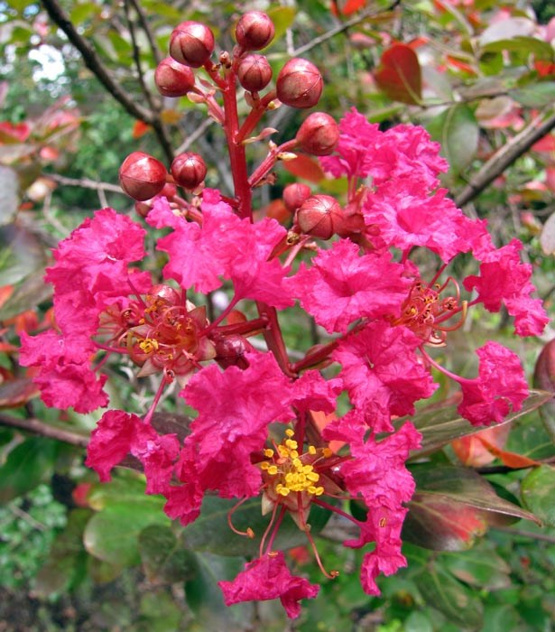 Lagerstroemia indica (crape myrtle); flowers. Enchanting Floral Gardens of Kula, Maui, Hawaii, USA. August, 2010.