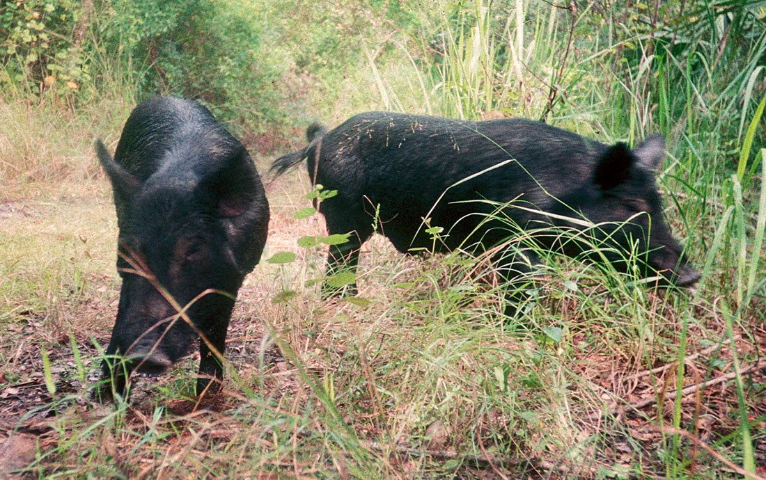 Sus scrofa (feral type); adults in habitat. USA.