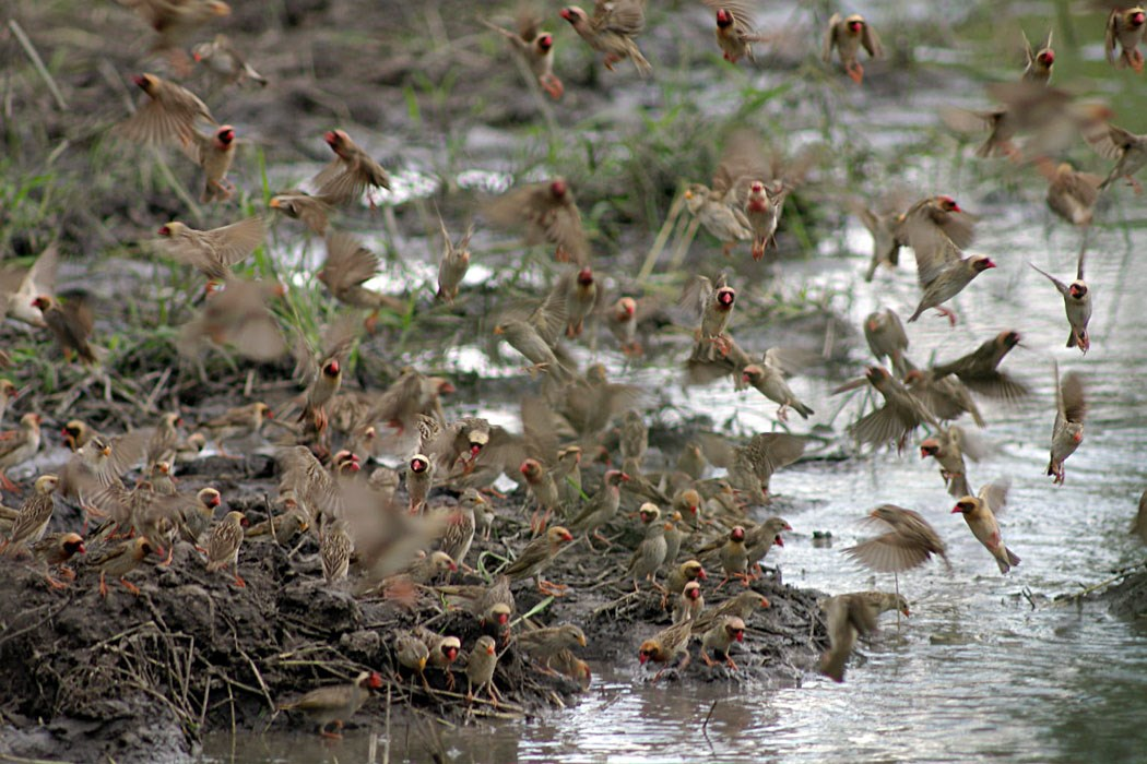 Quelea quelea (weaver bird, red-billed quelea); flock coming to drink at a pool. Botswana. March, 2005.