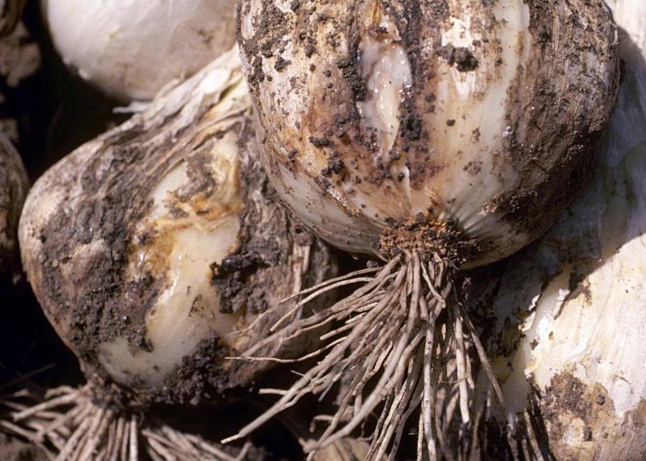 Stem and bulb nematode (Ditylenchus dipsaci); damage to stems and bulbs on onion transplants. USA.