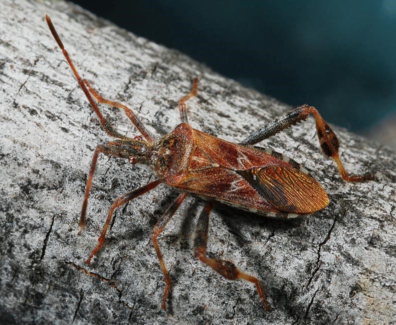 Leptoglossus occidentalis (western conifer-seed bug); adult. Lakewood, Colorado, USA. (first detected in the UK during 2007 - http://www.britishbugs.org.uk/heteroptera/Coreidae/Leptoglossus_occidentalis.pdf)