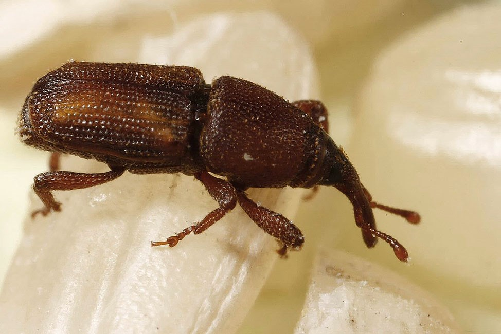 Sitophilus oryzae (lesser grain weevil or rice weevil); adult on rice grains. Colorado, USA.