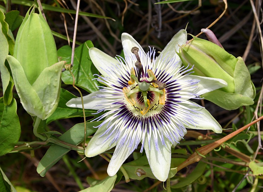 Passiflora caerulea (blue passionflower); flower and fruit.