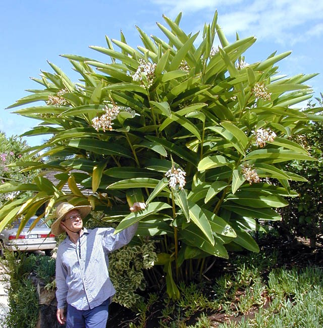 Alpinia zerumbet (shell ginger); habit - note person for scale. Kihei, Mau, Hawaii, USA. June, 2002.