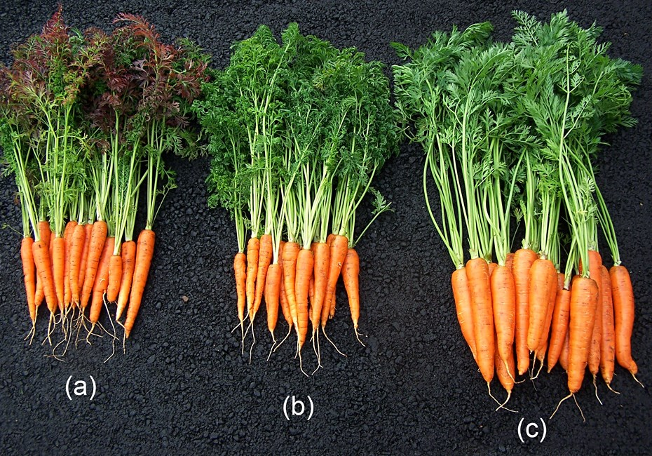 Carrots with symptoms of CLso infection: leaf curling and purpling (a), leaf curling only (b), and asymptomatic carrots (c). Note the small size of the roots in the carrots with symptoms compared with to asymptomatic ones.