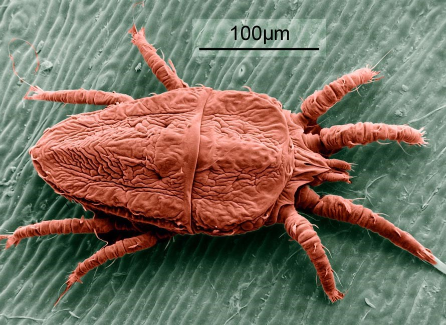 Brevipalpus phoenicis (flat or false spider mite); false colour SEM of adult mite. Note scale.