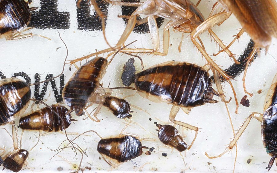 Blattella germanica (German cockroach); various nymphal stages caught on a sticky trap.