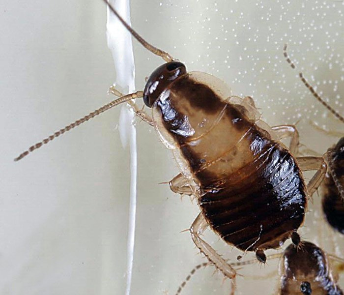 Blattella germanica (German cockroach); nymph caught on a sticky trap. USA.