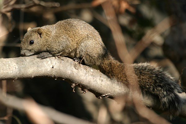 Callosciurus erythraeus; Pallas's squirrel or Red-bellied squirrel, an adult.
