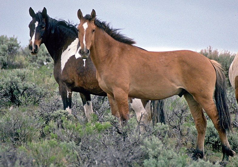 Equus caballus [ISC] (horse); feral horses (mustangs) on Steens Mountain, Oregon, USA.