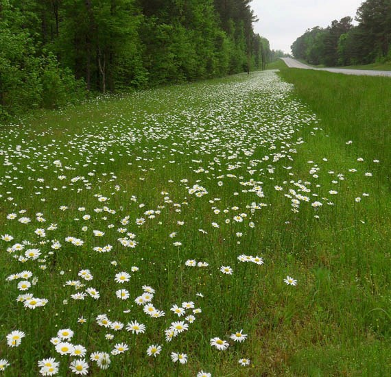 Leucanthemum vulgare (oxeye or moon daisy), habit and flowers on a roadside verge. Randolph County, Alabama, USA.