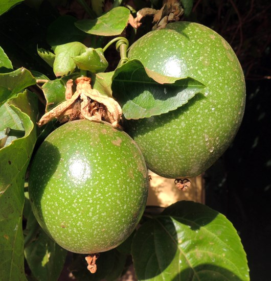 Passiflora edulis (passionfruit); ripening fruit. Uganda, north of Mount Elgon. July, 2014.