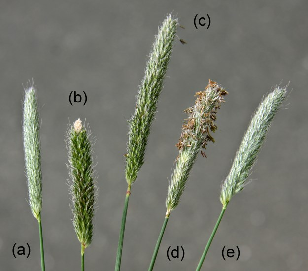 Alopecurus pratensis (meadow foxtail); flowering stages. (a) immature flowerhead; (b) flowerhead with emergent stigmas; (c) flowerhead with some stigmas still emergent; (d) flowerhead with anthers emerging; (e) flowerhead when pollination complete.