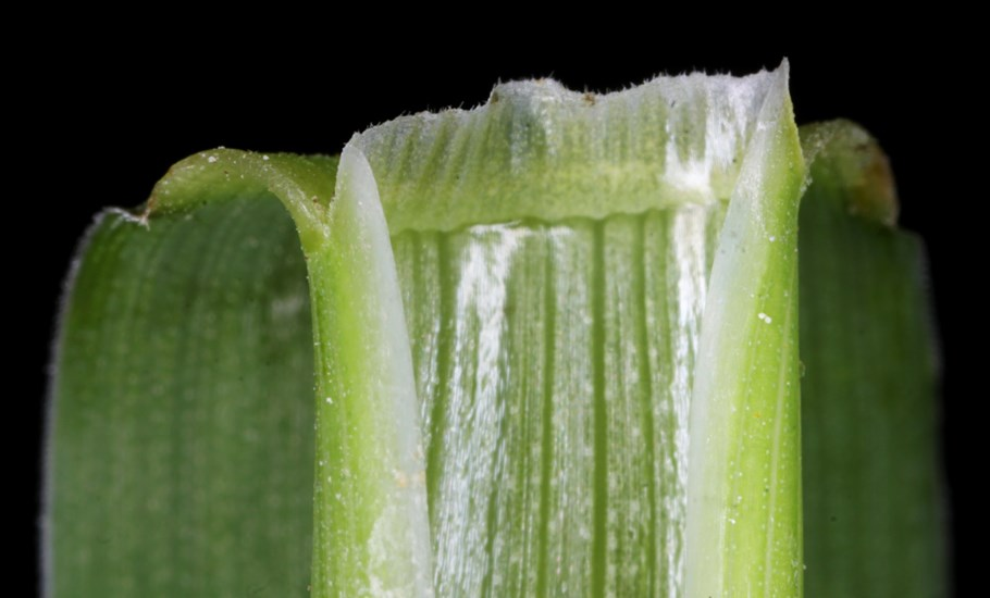 Alopecurus pratensis (meadow foxtail); ligule.