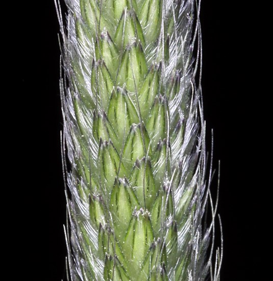 Alopecurus pratensis (meadow foxtail); close-up of flowerhead.