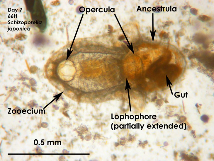 Schizoporella japonica; colony morphology at day 7. Anatomy of Schizoporella japonica.  Ancestrula - the zooid which arises from the larva after settlement; the original zooid before asexual reproduction begins.  Zooecium - the encasing material which houses the body of the zooid.  Lophophore - a ring of ciliated tentacles surrounding the mouth used for feeding; may be extended or retracted.  Operculum (pl. Opercula) - the hole from which the lophophore emerges.