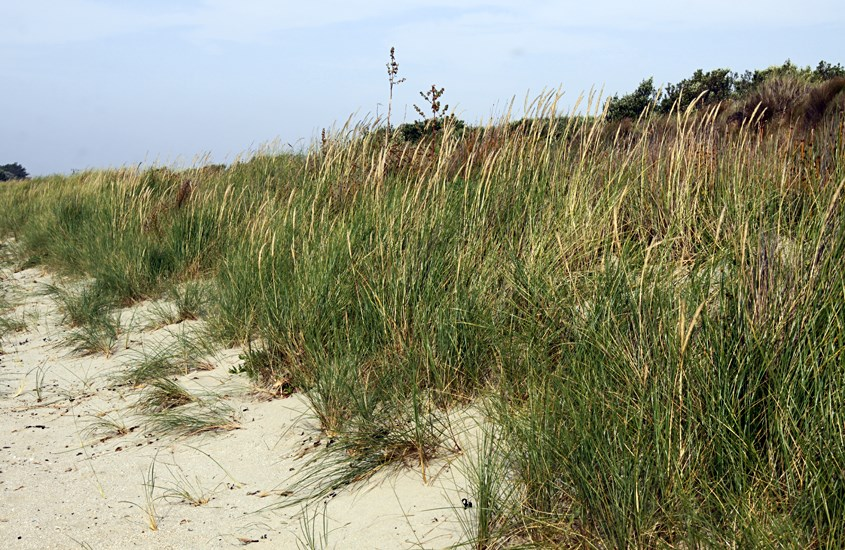 Ammophila arenaria (marram grass); flowering plants at the seaward side of a sand dune.