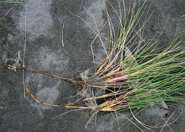 Ammophila arenaria (marram grass); young plants, pulled, showing fibrous roots with vertical and horizontal rhizomes.