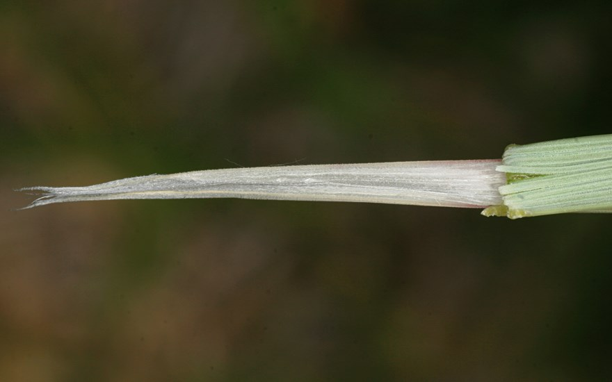 Ammophila arenaria (marram grass); ligule (image oriented 90° anti-clockwise).