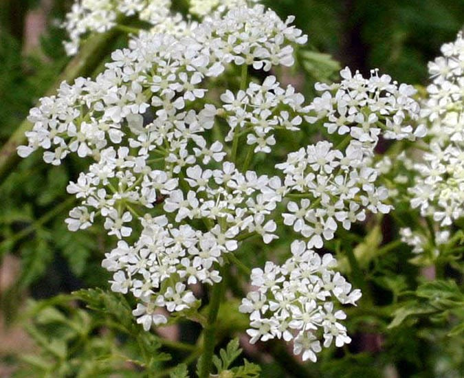 Conium maculatum (poison hemlock); close-up of a flowering umbel. Oregon, USA. June, 2005.