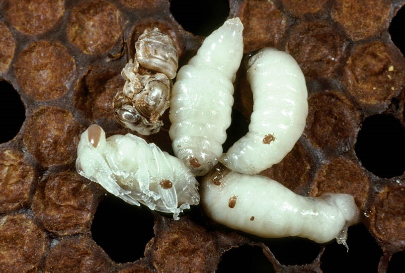 Tropilaelaps sp. (Asian bee mites); mites on European honey bee larvae and pupa (Apis mellifera), and a deformed bee (arrowed). Tropilaelaps is a genus of mites that parasitise the brood of Asian honey bees; they spread to the European honey bee (Apis mellifera) after it was introduced to Asia.