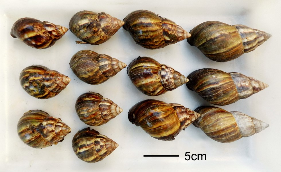 Achatina fulica (giant African land snail); various specimens, collected nr. Corrientes, Argentina. May, 2013.