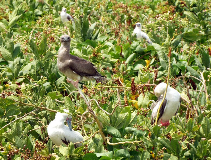 Nicotiana tabacum (tobacco); habit, with red-footed booby (Sula sula) nesting amongst the infestation. NW Lake, Laysan, Hawaii, USA. September, 2013.