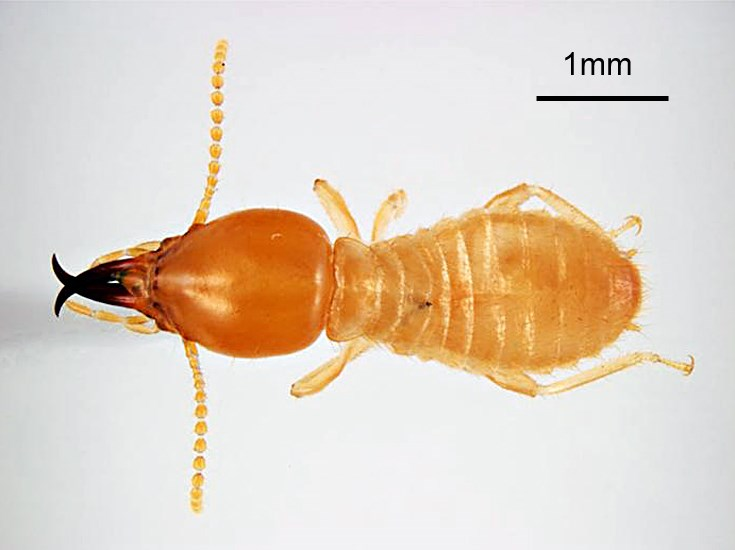 Coptotermes formosanus (Formosan subterranean termite); soldier, dorsal view. Honolulu, Hawaii, USA. May, 1995.