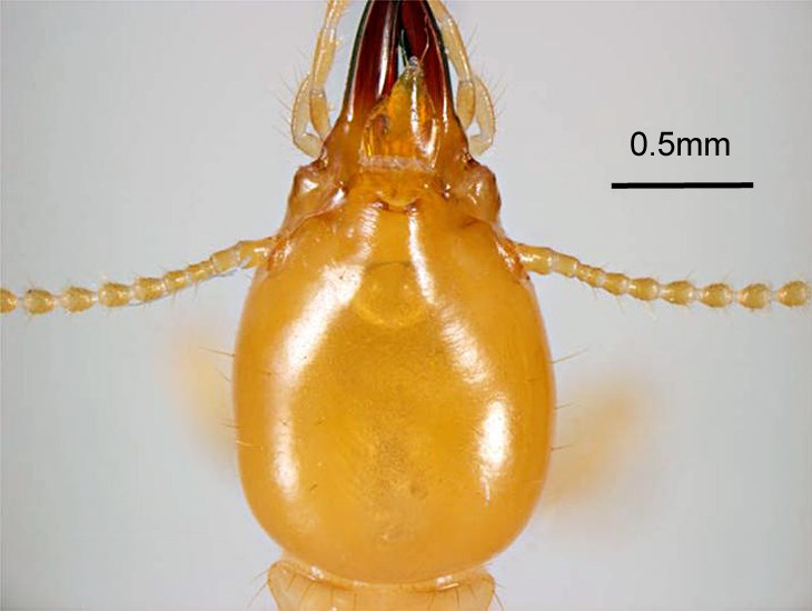 Coptotermes formosanus (Formosan subterranean termite); head of soldier, dorsal view. Honolulu, Hawaii, USA. May, 1995.