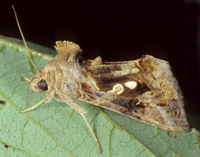 Chrysodeixis chalcites (golden twin-spot moth, tomato looper); adult, alert. Indonesia.
