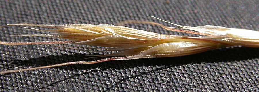 Ventenata dubia (North Africa grass); seeds. The distinctly ribbed glumes and two florets per spikelet, where the upper is long-awned and disarticulates, are distinctive of this species. Bozeman, Montana, USA. September, 2008.