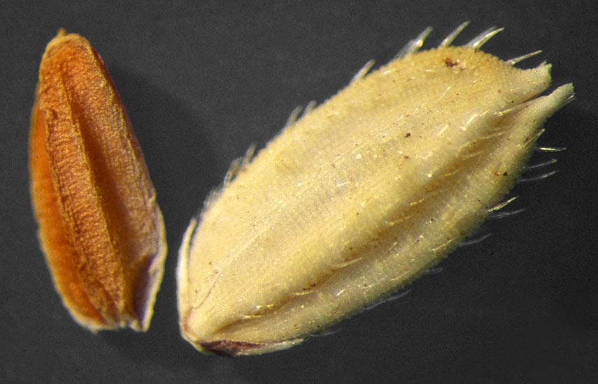 Oryza punctata (wild or red rice); spikelets 5-6.2mm in length and 1.9-2.6 mm in width. USA.