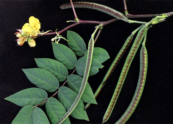 Senna occidentalis (coffee senna); leaves, flowers and fruits.