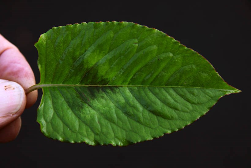 Persicaria chinensis (Chinese knotweed); single leaf. July, 2011.