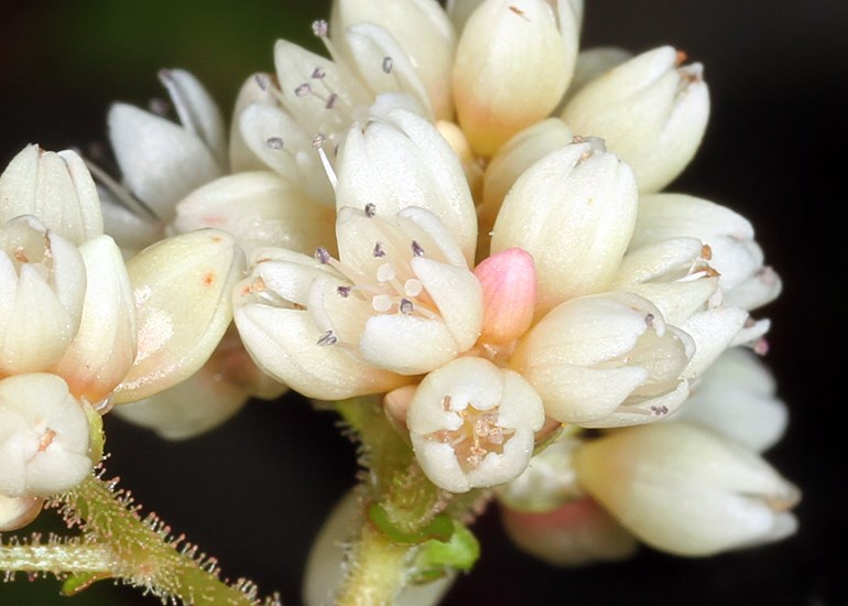 Persicaria chinensis (Chinese knotweed); extreme close-up of flowers. New Zealand. June, 2013.