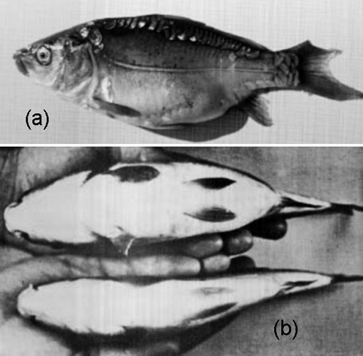 Spring viraemia of carp. (a) Lateral view of carp showing distended abdomen and haemorrhage in skin and in anal and caudal fin. (b) Ventral view of gross abdominal distension in experimentally infected carp (top) compared with control fish (bottom).