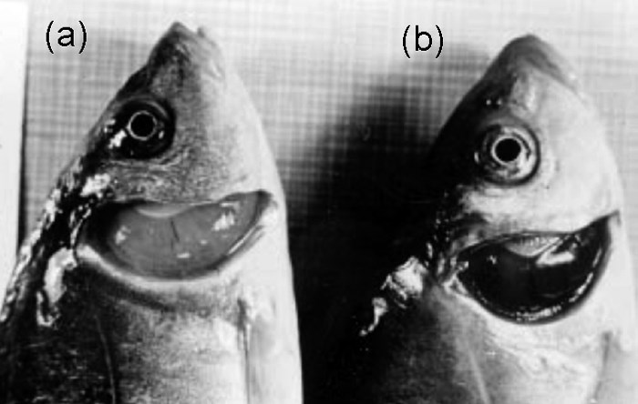 Spring viraemia of carp. Pale gills with haemorrhage in experimentally infected (a) carp compared with gills in control fish (b).