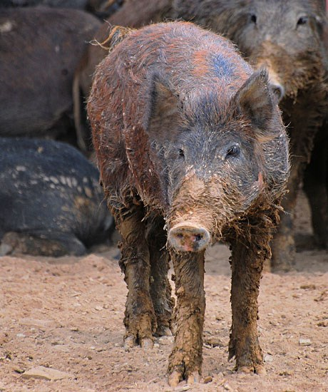 Sus scrofa (feral type); feral Swine are not native to the U.S.A. They are the result of recent and historical (16th century Spanish explorers) releases of domestic swine and Eurasian boar.