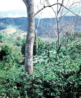 Natural regeneration in coffee planation, Costa Rica.