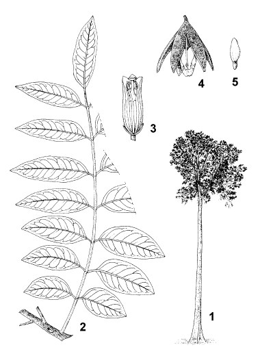 1. tree habit 2. branch with leaf 3. sectioned flower 4. dehisced fruit 5. seed