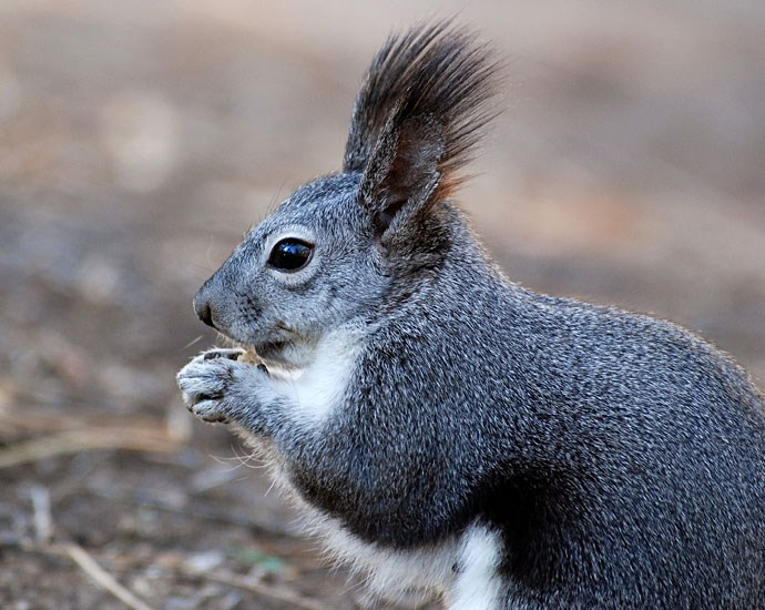 Sciurus aberti (Abert's squirrel); close-up shows their highly characteristic tufted ears. Bandelier National Monument, Los Alamos, New Mexico, USA.