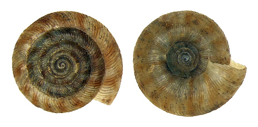 Discus rotundatus (rotund disc): adult shells. This snail is often found living in moist, sheltered placeS, under leaf litter and stones. Origin: Germany, Bavaria, Upper Franconia, Weismain.