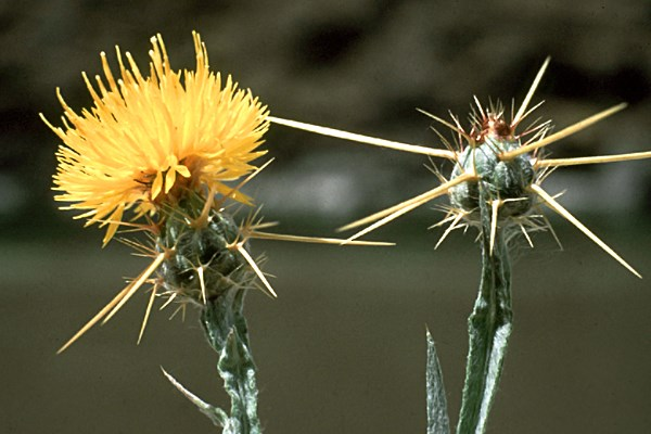 Centaurea solstitialis flowers; note large, sharp spikes. North-central Idaho, USA.