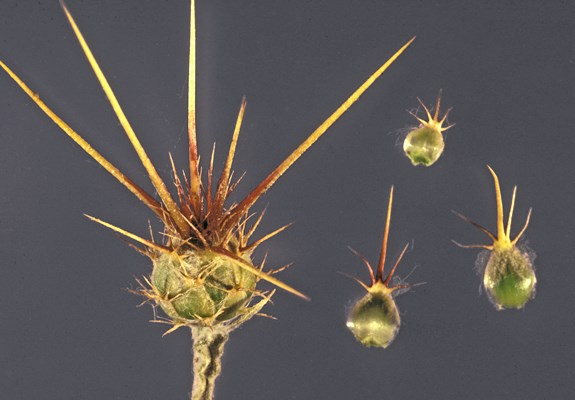 Centaurea solstitialis; dissected flower showing constituent parts. Note large, sharp spikes. North-central Idaho, USA.