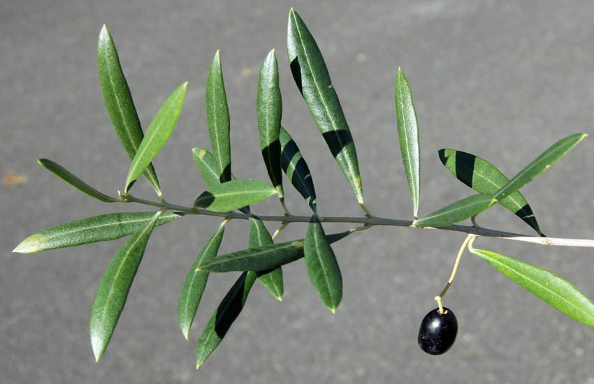 Olea europaea subsp. europaea (olive); branch with single ripe fruit.