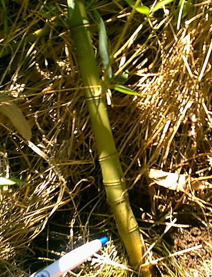 Phyllostachys aurea (fish-pole bamboo, golden bamboo); compressed internodes of golden bamboo on some random canes.