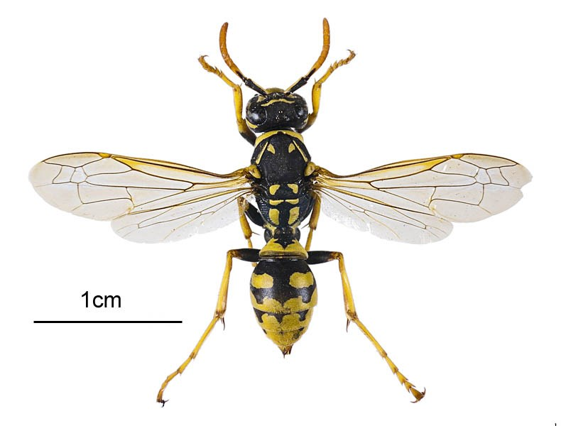 Polistes dominula (European paper wasp); adult female, dorsal view. Museum set specimen. Maourine pond, Toulouse, France. July 2011.